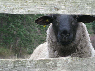 Dave, the sheep