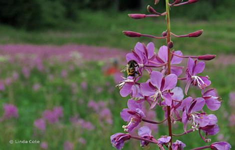 Linda Cote-Fireweed & Bee