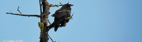 LINDA COTE-Raven BC-featured