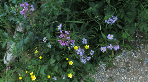 Linda Cote-Wildflowers
