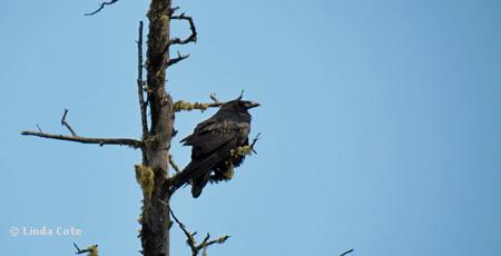 Raven in BC