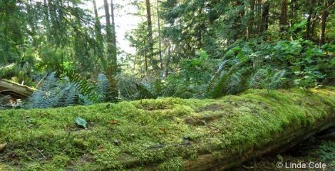 Linda Cote-BC Fallen Log