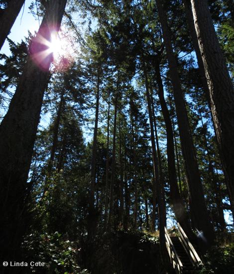 Linda Cote-BC Tall Trees