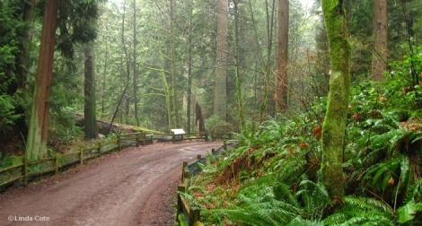 Linda Cote-Vancouver Forest Path