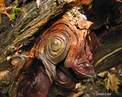 Linda Cote-gnarled tree