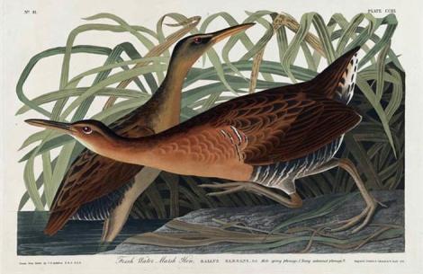 Fresh Water Marsh Hen-JJ Audubon