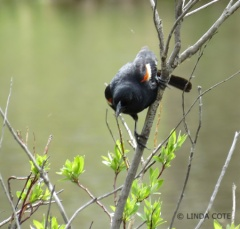 LINDA COTE-Blackbird photo