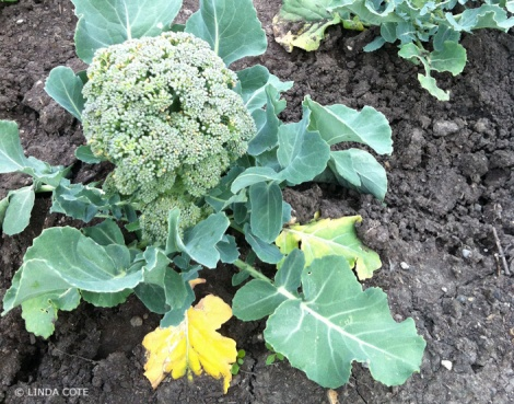 LINDA COTE-broccoli