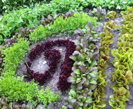 LINDA COTE-lettuces