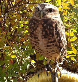 LINDA COTE-Burrowing Owl