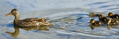LINDA COTE-Mallard Duck Feat