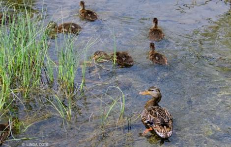 LINDA COTE-mother duck