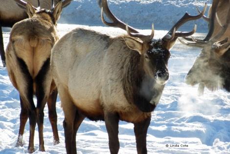 LINDA COTE-Canmore Elk
