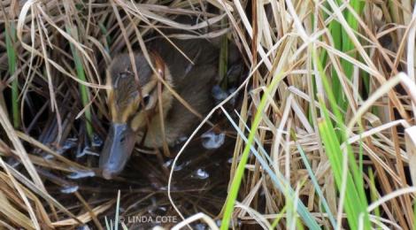 LINDA COTE-mallard duckling