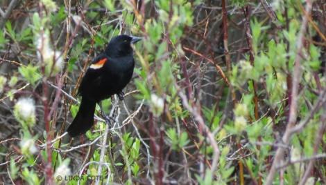 LINDA COTE-redwaing blackbird