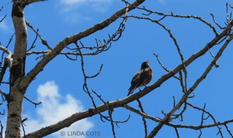 LINDA COTE-Robin