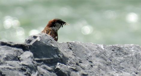 LINDA COTE-Sparrow