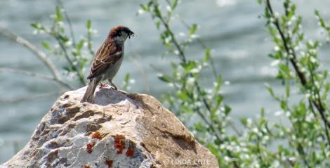 LINDA COTE-Sparrow2