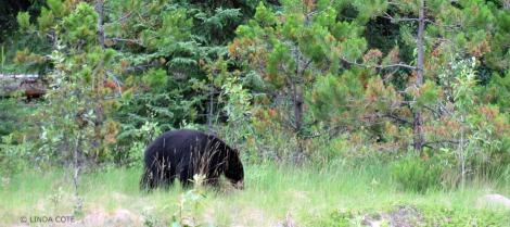 LINDA COTE-Maligne Bear