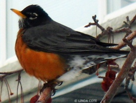 LINDA COTE-American Robin