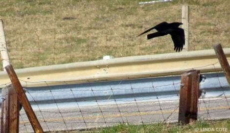 LINDA COTE-Crow