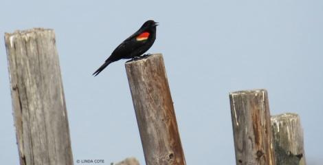LINDA COTE-Red-Winged Blackbird