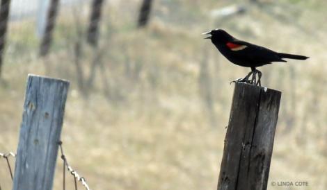 LINDA COTE-Red-Winged Blackbird2