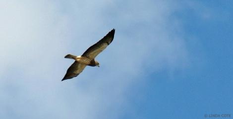 LINDA COTE-Swainson's Hawk
