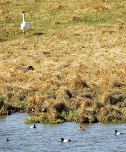 LINDA COTE-Swan &Goldeneye