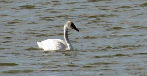 LINDA COTE-Trumpeter Swan2