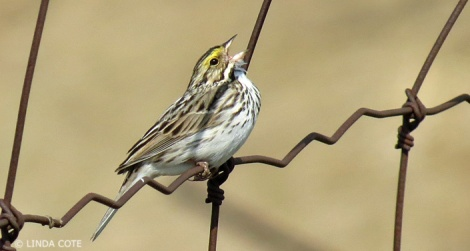 LINDA COTE-Savannah Sparrow