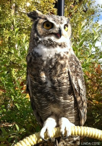 LINDA-COTE-Horned-owl