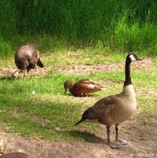LINDA COTE-Canada Geese