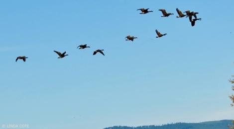 LINDA COTE-geese flying