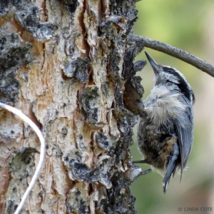 LINDA COTE-Red-Breasted Nuthatch2