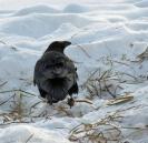 LINDA COTE-Crow in Snow2