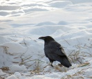 LINDA COTE-Crow in Snow