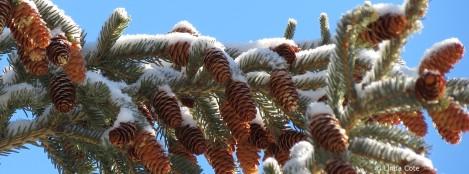 LINDA COTE-Pine cones
